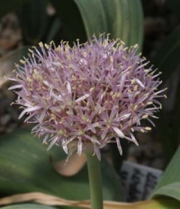Allium assadii