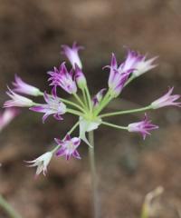 Allium bolanderi mirabile