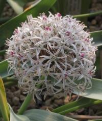 Allium breviscapum