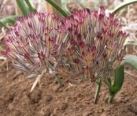 Allium gypsaceum