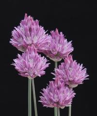 Allium heldreichii
