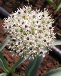 Allium kharputense