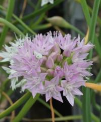 Allium lemmonii