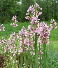 Allium meliophilum