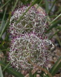 Allium scotostemon