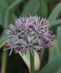 Allium species nova, Iran