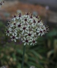 Allium basalticum