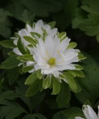 Anemone nemorosa Bracteata Plena