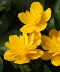 Anemone ranunculoides TANEL