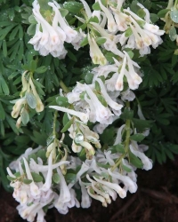 Corydalis  solida Christmas Day