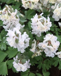 Corydalis  solida Crystal Palace