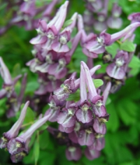 Corydalis  solida FOREST ELF