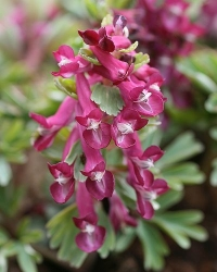 Corydalis  solida Ginnie