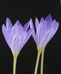 Crocus  archibaldiorum