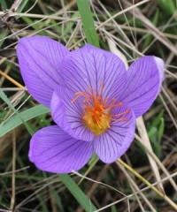 Crocus  armeniensis Goris