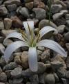Colchicum jolantae