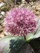 Allium subakaka