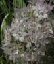Allium brandegei