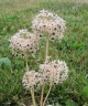 Allium campanulatum