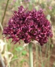 Allium cardiostemon