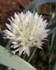 Allium darwasicum