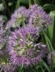 Allium douglasii subsp. douglasii