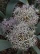 Allium elburzense