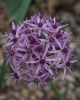 Allium ellisii