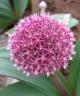 Allium karataviense henrikii