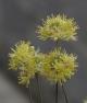 Allium microspathum