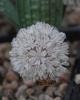 Allium mirum