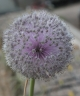 Allium myrianthum