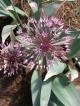 Allium nevsar x