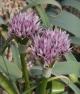 Allium noeanum