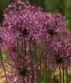 Allium pseudoserawschanicum