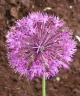 Allium rosenbackiana