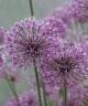 Allium rosenorum Akbulak