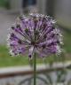 Allium sarawschianum dwarf