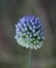 Allium scabriflorum