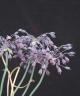 Allium sivasicum