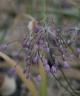 Allium tschikatschevii