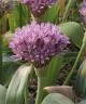 Allium ubipetrense