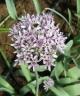 Allium woronowii