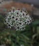 Allium x Silverspring