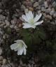Anemone altaica