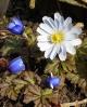 Anemone blanda Janis
