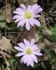 Anemone blanda aff. species nova