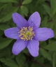 Anemone nemorosa Blue Queen