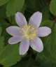 Anemone nemorosa Bowles' Purple