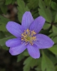 Anemone nemorosa Dee Day